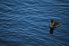 Πουλί νερού Στοκ φωτογραφίες με δικαίωμα ελεύθερης χρήσης
