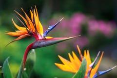 Πουλί λουλουδιών Heliconia του παραδείσου Στοκ εικόνες με δικαίωμα ελεύθερης χρήσης