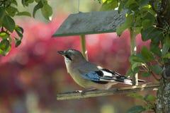 Πουλί ο μπλε Jay/glandarius Garrulus Στοκ φωτογραφία με δικαίωμα ελεύθερης χρήσης