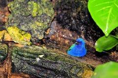 Πουλί, παπαγάλος-Finch Tricolored στο κλουβί στοκ εικόνα με δικαίωμα ελεύθερης χρήσης