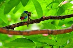Πουλί, παπαγάλος-Finch Tricolored στοκ φωτογραφίες