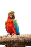 Πουλί παπαγάλων Macaw απομονωμένο στο λευκό υπόβαθρο Στοκ φωτογραφίες με δικαίωμα ελεύθερης χρήσης