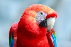 Πουλί παπαγάλων Macaw Ara ενάντια στο μπλε ουρανό Στοκ Εικόνες
