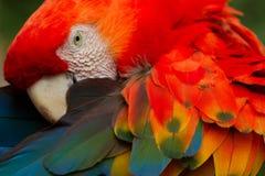 Πουλί παπαγάλων Macaw Arra με τα φωτεινά κόκκινα φτερά Στοκ Φωτογραφία