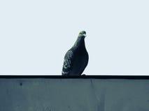 Πουλί περιστεριών μια συνεδρίαση στο στηθαίο Στοκ φωτογραφία με δικαίωμα ελεύθερης χρήσης