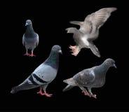 Πουλί περιστεριών περιστεριών που απομονώνεται στο μαύρο υπόβαθρο Στοκ Εικόνες