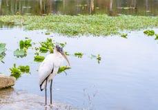 Πουλί πελαργών χαλάρωσης άσπρο ξύλινο στη λίμνη το χειμώνα στοκ φωτογραφία με δικαίωμα ελεύθερης χρήσης