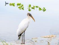 Πουλί πελαργών χαλάρωσης άσπρο ξύλινο στη λίμνη το χειμώνα Στοκ Φωτογραφίες