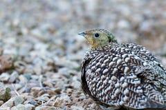 Πουλί που περπατά στις πέτρες Στοκ φωτογραφία με δικαίωμα ελεύθερης χρήσης