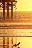 Πουλί που περπατά την κυματωγή κατά τη διάρκεια ενός ηλιοβασιλέματος Ειρηνικών Ωκεανών στο Σαν Ντιέγκο Στοκ Φωτογραφίες