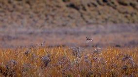 Πουλί που πετά στον τομέα χλόης στοκ φωτογραφίες