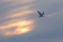 Πουλί που πετά στο ηλιοβασίλεμα Στοκ Εικόνες