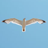 πουλί που πετά τον καθαρό seagull ουρανό Στοκ εικόνες με δικαίωμα ελεύθερης χρήσης