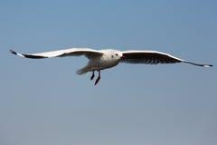 πουλί που πετά τον καθαρό seagull ουρανό Στοκ Φωτογραφίες