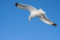 πουλί που πετά τον καθαρό seagull ουρανό Στοκ Εικόνες