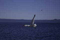 πουλί που πετά τον καθαρό seagull ουρανό στοκ εικόνα με δικαίωμα ελεύθερης χρήσης