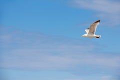 πουλί που πετά τον καθαρό seagull ουρανό Στοκ Φωτογραφία