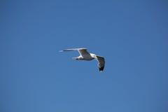 πουλί που πετά τον καθαρό seagull ουρανό Στοκ φωτογραφία με δικαίωμα ελεύθερης χρήσης