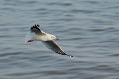 πουλί που πετά τον καθαρό seagull ουρανό Στοκ φωτογραφίες με δικαίωμα ελεύθερης χρήσης
