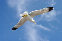 πουλί που πετά τον καθαρό seagull ουρανό Στοκ Εικόνα