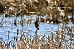 Πουλί που σκαρφαλώνει στον κάλαμο στο τσερόκι έλος Στοκ Εικόνα