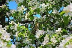 Πουλί που σκαρφαλώνει στο ανθίζοντας δέντρο μηλιάς Στοκ φωτογραφίες με δικαίωμα ελεύθερης χρήσης