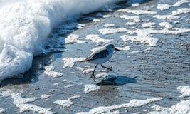 Πουλί που τρέχει από το εισερχόμενο κύμα Στοκ φωτογραφία με δικαίωμα ελεύθερης χρήσης