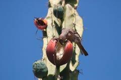 Πουλί που τρώει τα φρούτα κήρινων κάκτων Στοκ Εικόνες