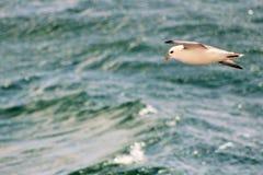 Πουλί σε μια πτήση πέρα από τη θάλασσα Στοκ Εικόνες