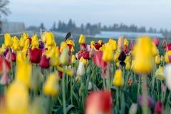 Πουλί στην τουλίπα στον τομέα λουλουδιών Στοκ Φωτογραφίες