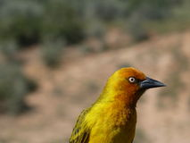 Πουλί στη Νότια Αφρική Στοκ Εικόνες