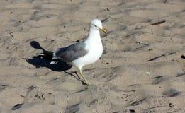 Πουλί στη φυσική παραλία Καλιφόρνια γεφυρών Στοκ φωτογραφία με δικαίωμα ελεύθερης χρήσης