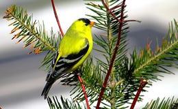 Πουλί στον κλάδο Goldfinch Στοκ Εικόνα