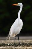Πουλί στο νερό Άσπρος ερωδιός, μεγάλος τσικνιάς, Egretta alba, που στέκεται στο νερό το Μάρτιο Παραλία στη Φλώριδα, ΗΠΑ Πουλί W ν Στοκ Εικόνα