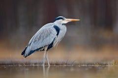 Πουλί στο νερό Γκρίζος ερωδιός, Ardea φαιάς ουσίας, συνεδρίαση πουλιών στην πράσινη χλόη έλους, δάσος στο υπόβαθρο, ζώο στο natur Στοκ Φωτογραφίες