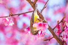 Πουλί στο ρόδινο δέντρο λουλουδιών Στοκ Εικόνες
