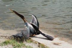 Πουλί της Φλώριδας: Anhinga Στοκ εικόνες με δικαίωμα ελεύθερης χρήσης