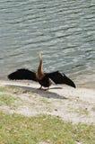 Πουλί της Φλώριδας: Anhinga Στοκ εικόνα με δικαίωμα ελεύθερης χρήσης