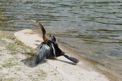 Πουλί της Φλώριδας: Anhinga Στοκ φωτογραφία με δικαίωμα ελεύθερης χρήσης