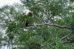 Πουλί της Φλώριδας: Anhinga Στοκ Εικόνα