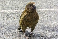 Πουλί της Kea στη Νέα Ζηλανδία Στοκ εικόνες με δικαίωμα ελεύθερης χρήσης