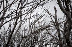 Πουλί της Robin και νεκρά δέντρα στοκ φωτογραφίες