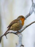 Πουλί της Robin που στηρίζεται σε έναν κλάδο δέντρων Στοκ φωτογραφία με δικαίωμα ελεύθερης χρήσης