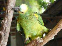 Πουλί του Αμαζονίου Στοκ Εικόνα