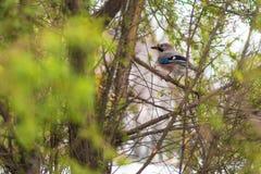 Πουλί του Jay το χειμώνα Στοκ εικόνα με δικαίωμα ελεύθερης χρήσης