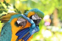 Πουλί, το ararauna Ara Στοκ φωτογραφία με δικαίωμα ελεύθερης χρήσης
