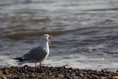 Πουλί τραγουδιού Αστείο ζώο meme seagull που κραυγάζει στη θάλασσα στοκ φωτογραφία με δικαίωμα ελεύθερης χρήσης