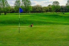 Πουλί φασιανών strolling στο γήπεδο του γκολφ πράσινο Στοκ εικόνες με δικαίωμα ελεύθερης χρήσης