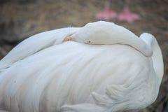 Πουλί φλαμίγκο Στοκ εικόνες με δικαίωμα ελεύθερης χρήσης