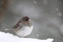 Πουλί χιονιού Στοκ Φωτογραφίες